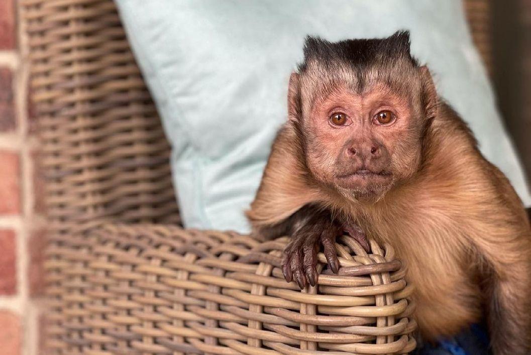 """""""Она умела излучать свет"""": скончалась знаменитая обезьяна-миллионник Джордж из TikTok"""