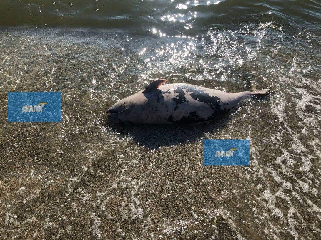 Размытые пляжи и мертвые дельфины: что происходит на Азовском море