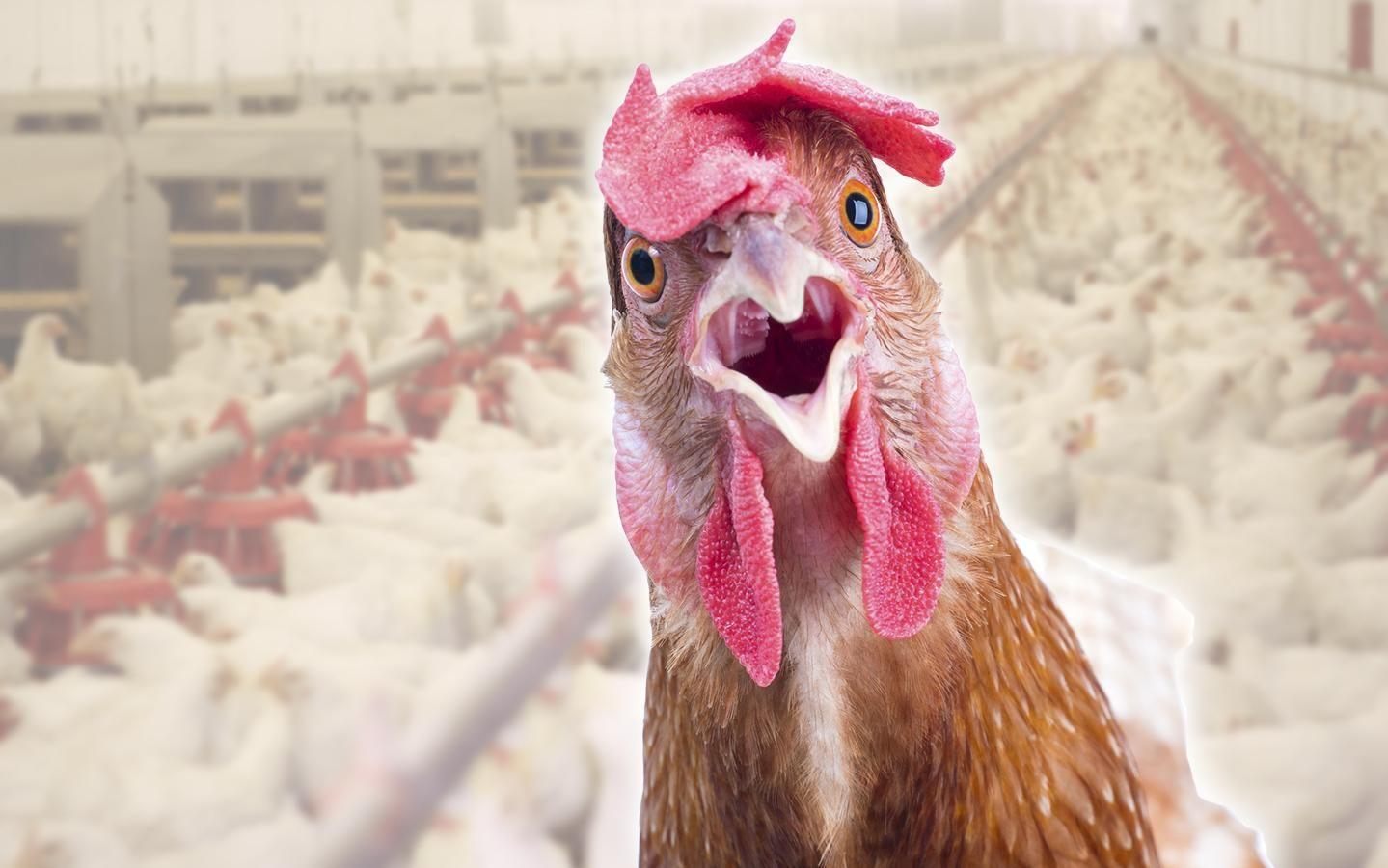Как коза и петух спасли курицу от нападения ястреба