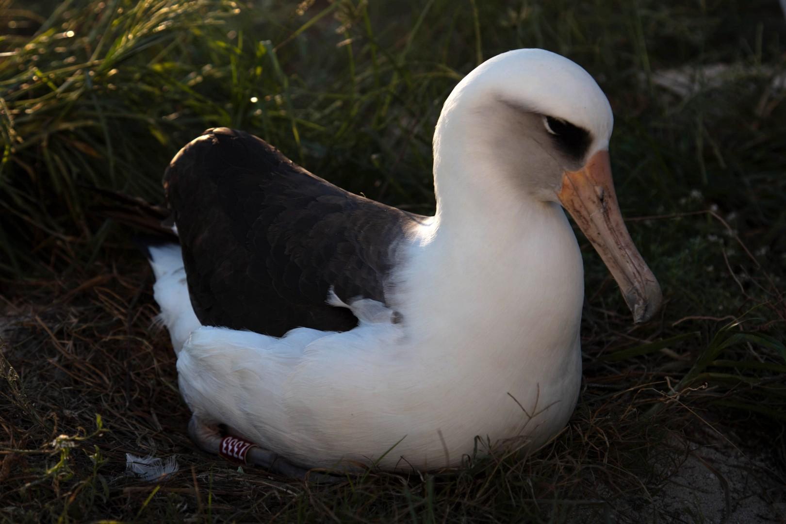Старейшая дикая птица планеты Уиздом смогла отложить яйцо