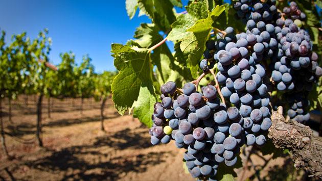 Власти Крыма решили продать на торгах почти 37 га гурзуфских виноградников