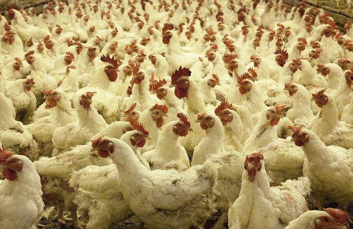 В России на птицефабрике эпидемия птичьего гриппа: много заболевших