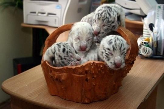 Пополнение в ялтинском зоопарке: Тигрюля родила 4 малышей, но тут же отказалась их кормить