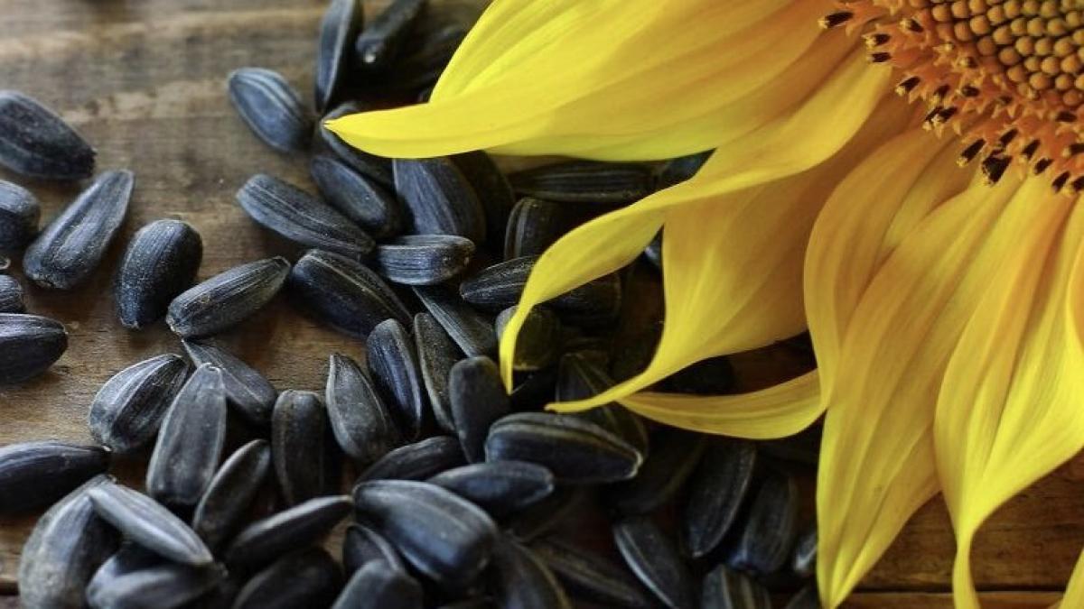 Веганская кухня: паштет из семян подсолнечника – сытно, вкусно, полезно