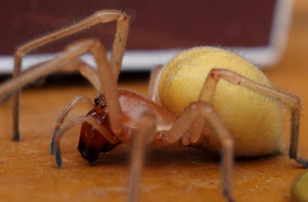 В Украине появились ядовитые пауки с четырьмя челюстями: хеиракантиум становится активным в начале осени
