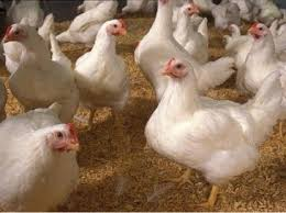 В Шахтерске из-за боевых действий приостановила работу местная птицефабрика