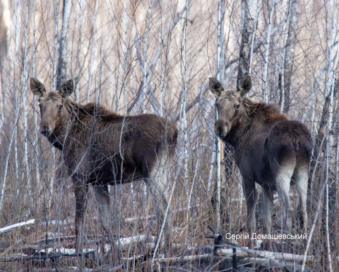 Ученые показали чудо-животных из Чернобыля – любят наблюдать за людьми
