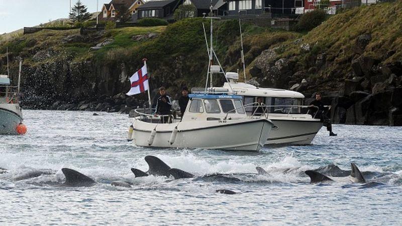 На Фарерах убили полторы тысячи дельфинов – зоозащитники всего мира возмущены
