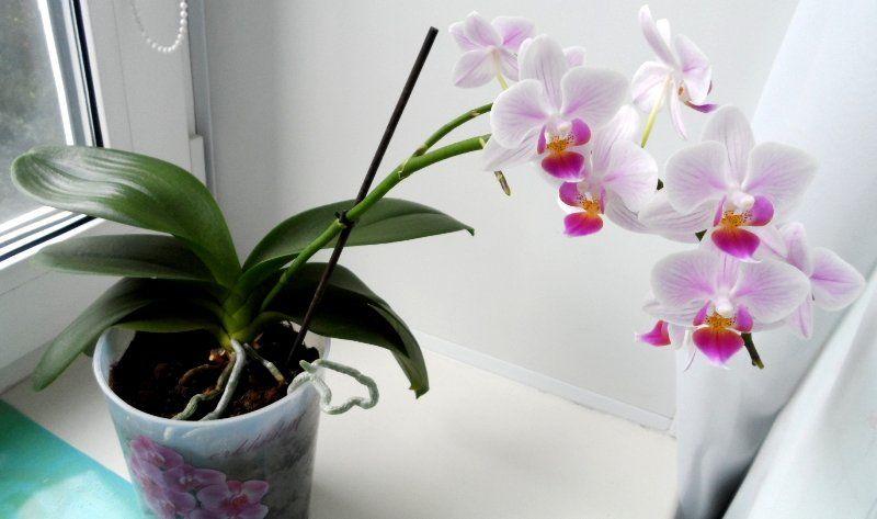 Любимый цветок многих женщин лучше убрать из дома: почему орхидей не должно быть в жилых помещениях