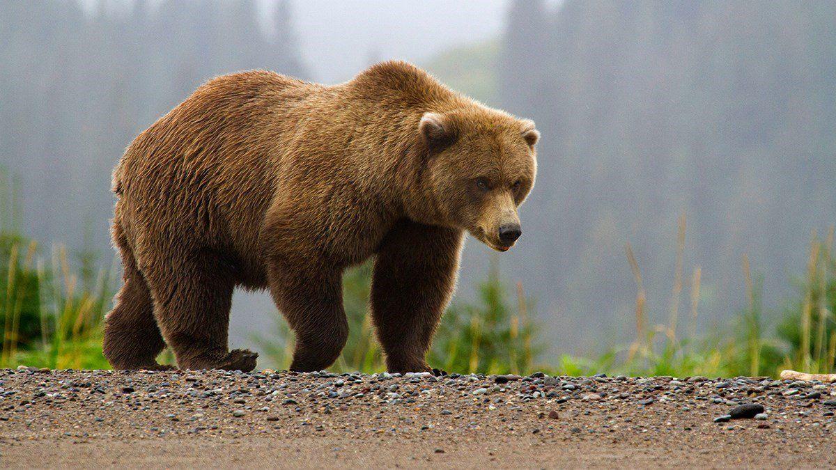 """""""Подмял под себя, снимая рюкзак"""": медведь-людоед разорвал подростка на территории парка в России"""