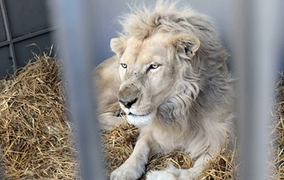 Из цирка в Запорожье сбежал дружелюбный лев Джордж