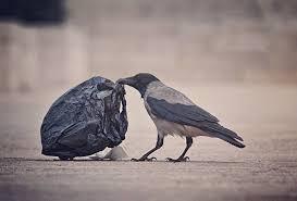Во Франции ученые вороны будут участвовать в уборке улиц – опубликованы зрелищные кадры