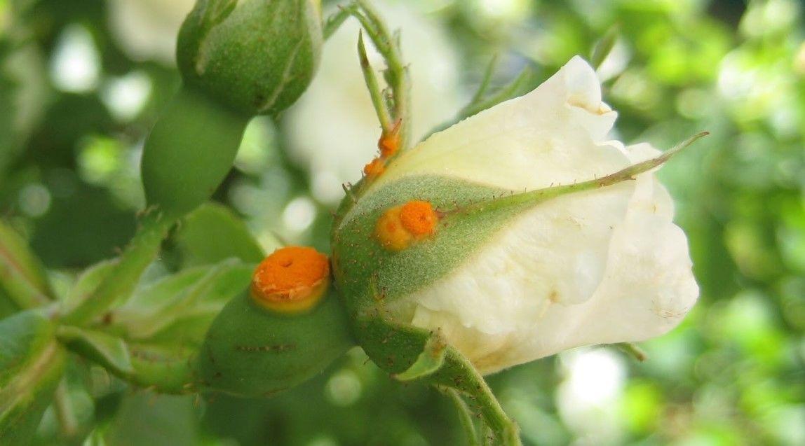 Болезни вьющейся розы