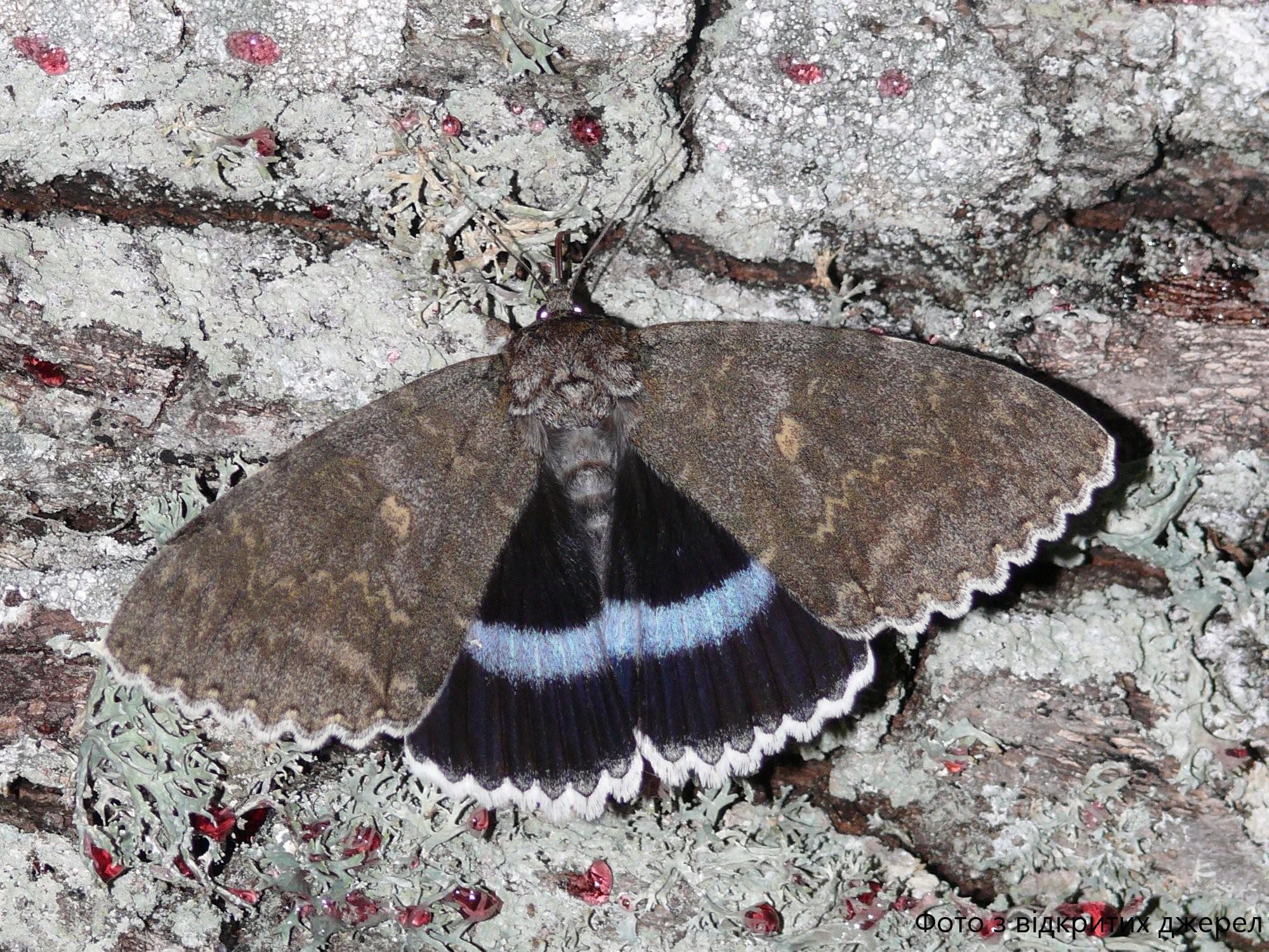 Гигантскую бабочку заметили в Чернобыльском заповеднике: ученые показали кадры с голубой ленточницей