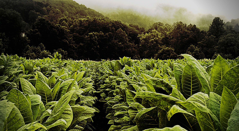 Задолго до трубки мира индейцев: ученые установили, когда впервые люди начали употреблять табак