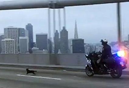 Дикая погоня в Сан-Франциско: как полиция гонялась за чихуахуа