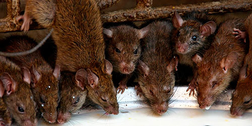 В оккупированном Крыму огромные полчища крыс: грызуны свободно шастают по пляжу в Севастополе и уже  лезут в жилые дома, местное население в панике