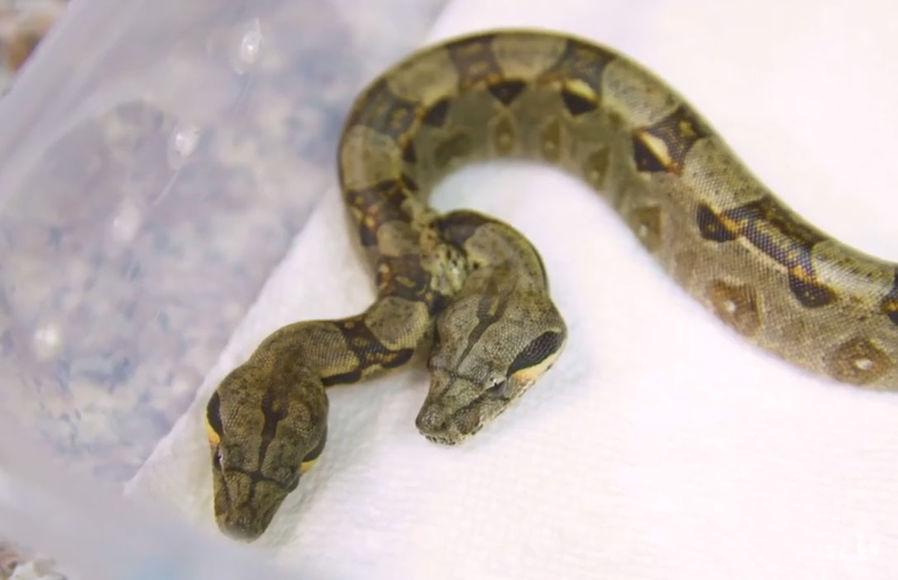 В США нашли феноменальную змею с двумя головами и сердцами – кадры