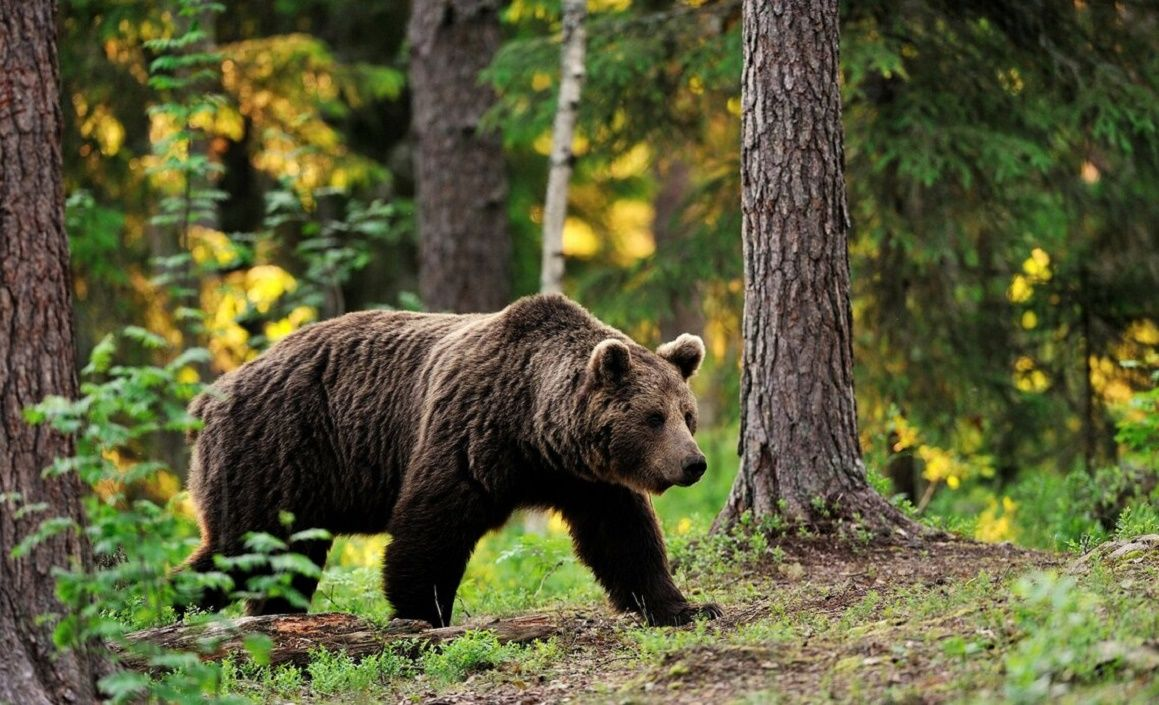 В лесах вокруг Чернобыльской зоны появились животные, которых не было более 100 лет