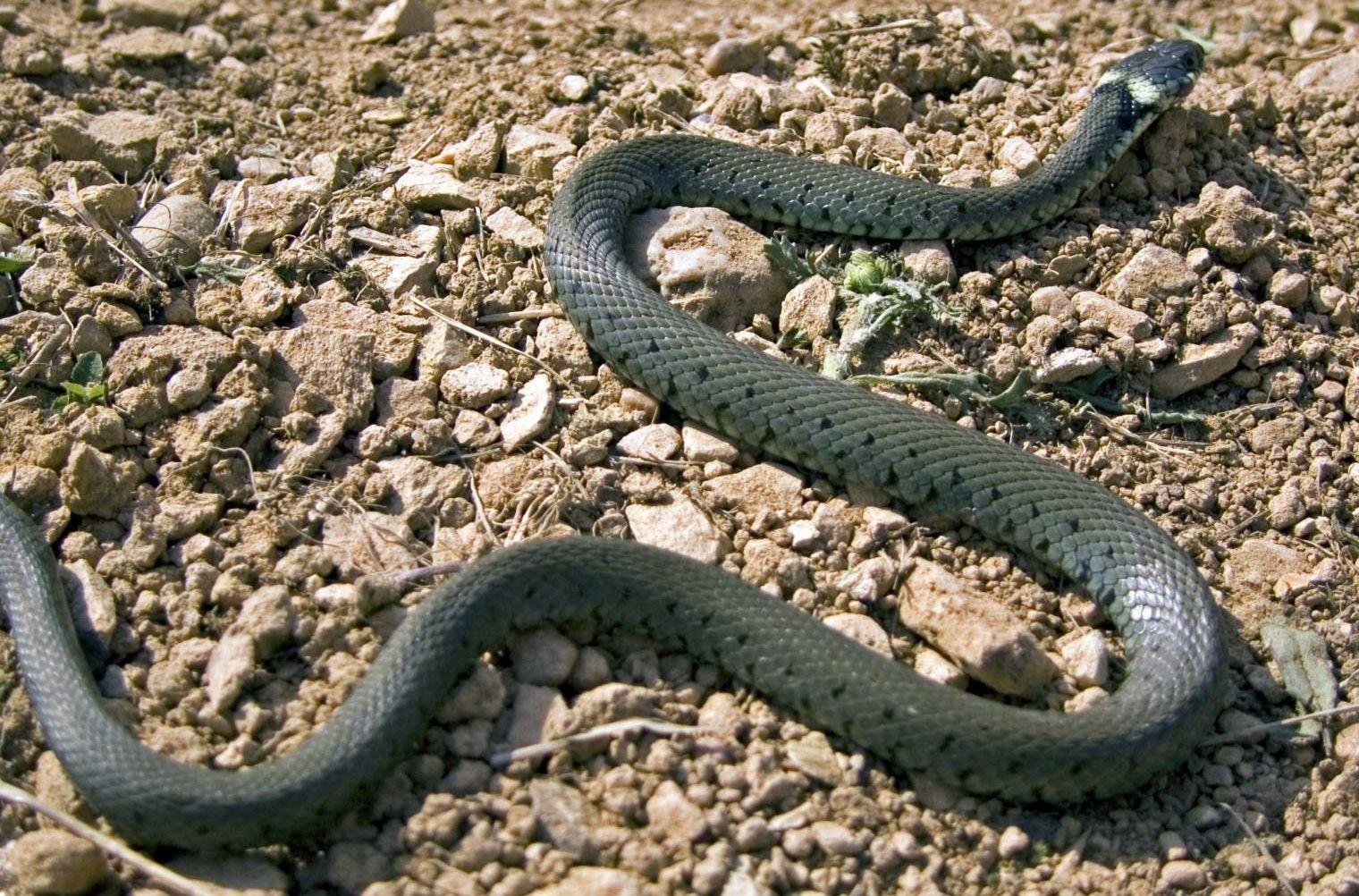 Отруйні змії атакують школи на Прикарпатті