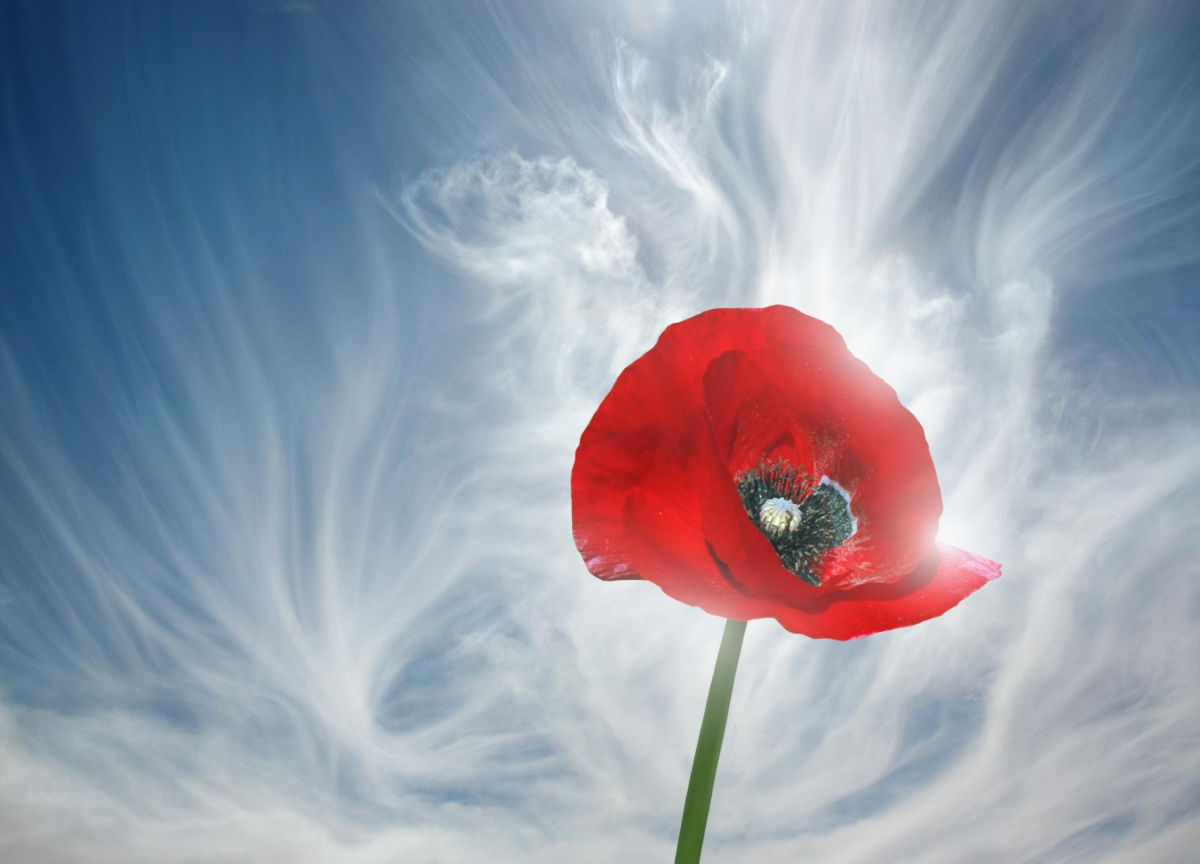 Почему красный мак с 2014 года стал символом памяти о жертвах Второй мировой войны
