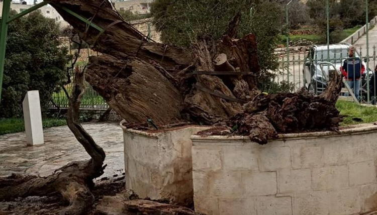 Пророчество о конце света сбывается в Палестине: паломники и местные жители в ужасе от гибели дуба Авраама