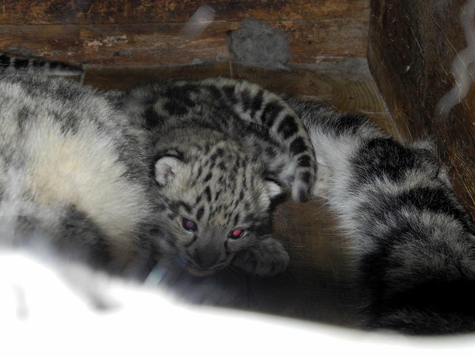 В Украине впервые в неволе родилась тройня снежных барсов. Дирекция зоопарка показала уникальные снимки малышей