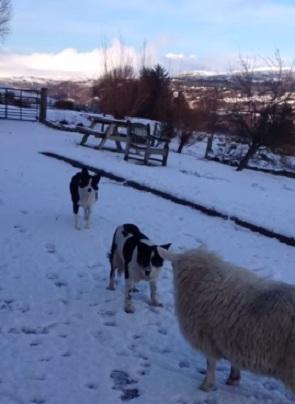 Овца Пет: усыновленное псами парнокопытное считает себя достойным членом собачьей семьи