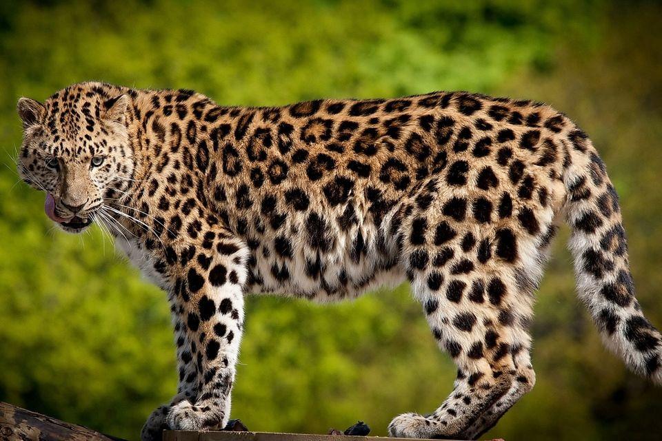 """Мастер маскировки: фото """"спрятавшегося"""" леопарда вызвало ажиотаж в Сети, люди не могут его найти"""