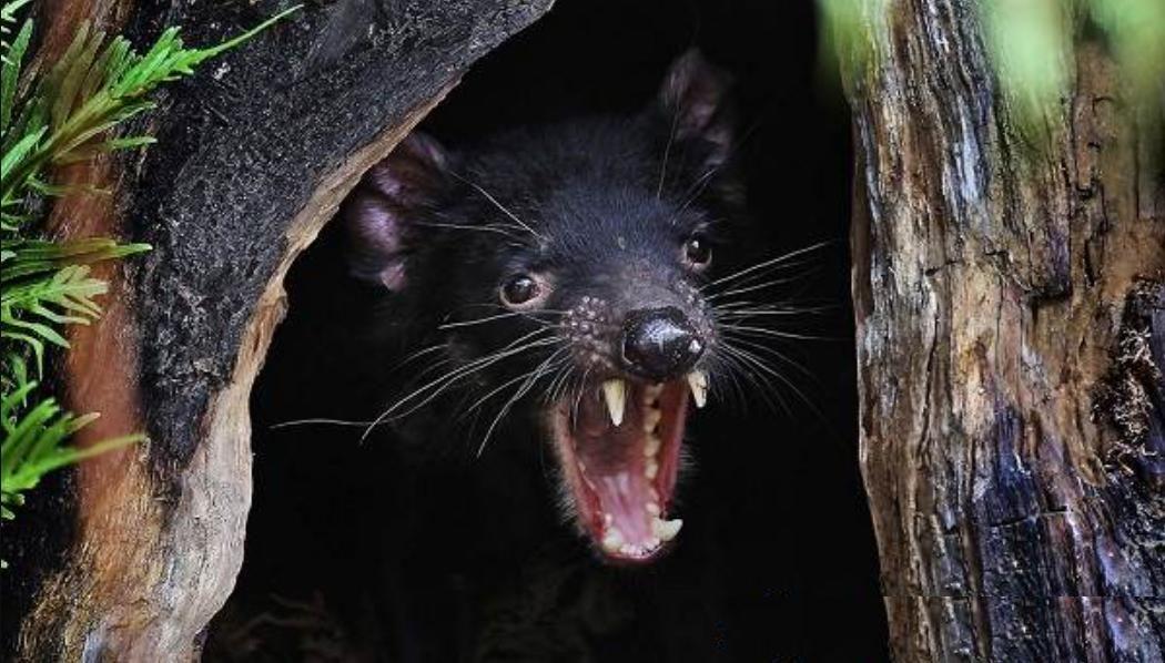 Впервые за 3000 лет: на материковой Австралии родились детеныши тасманского дьявола, первое фото