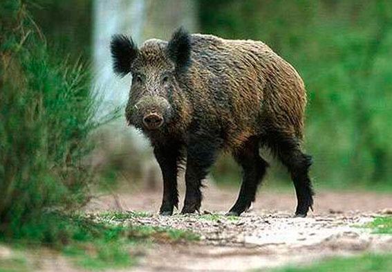 Украинские и белорусские дикие свиньи не на шутку напугали поляков