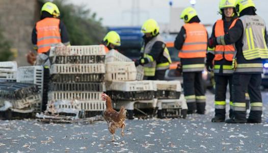 Запоминающееся ДТП: в Австрии перевернулся грузовик с курами, по трассе разбежались тысячи птиц - кадры