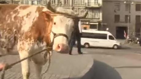новости, общество, коровы, олег ляшко, радикальная партия, киев, кабинет министров, украина