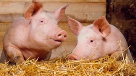 Россия временно запретила ввоз украинской свинины - Россельхознадзор