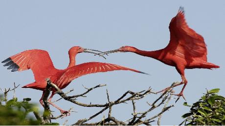 Уникальное явление: в Одессу для выводка потомства прилетели редкие птицы ибис
