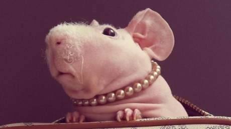 Лысая морская свинка Людвик, перенесшая несколько болезней, покорила пользователей Сети своей миловидностью