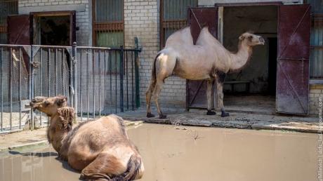 Шок! В одном из лучших украинских зоопарков в вольере на глазах у посетителей умирает верблюд с открытой раной в животе - кадры 18+