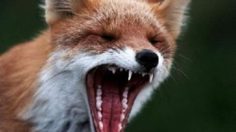 В Сумской области лиса напала на маленькую девочку