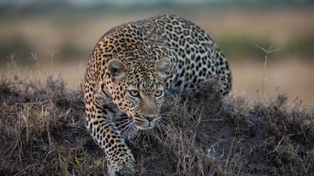 """Найди леопарда на фото: Сеть """"захватил"""" новый флешмоб - многие не могут решить головоломку"""