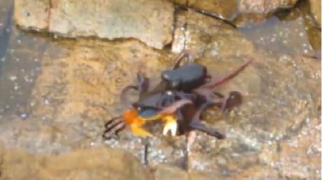Природа как она есть: короткий бой краба с осьминогом