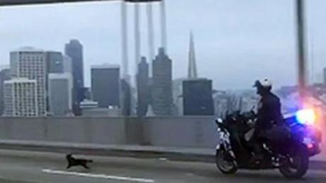 новости, США, полиция, собака, погоня, Сан-Франциско, мост