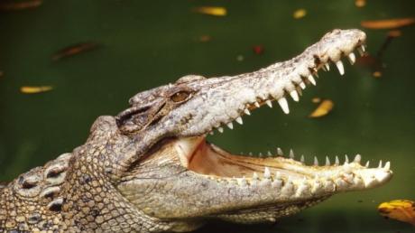 крокодил, индонезия, шаман, видео, рептилия, хищник, пропавший без вести, происшествия