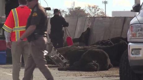 Коровы, выпавшие из грузовика, стали причиной масштабного ДТП в США - кадры