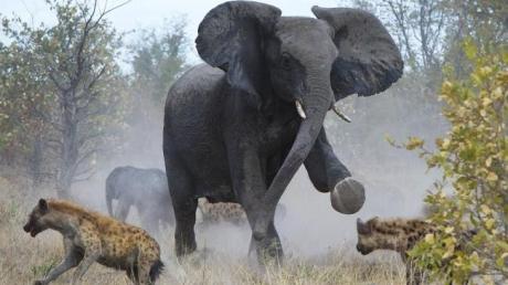Пока по Украине гуляет сбежавший из грузовика слон, пограничники заявляют, что он никак не мог уйти  с пограничного пункта