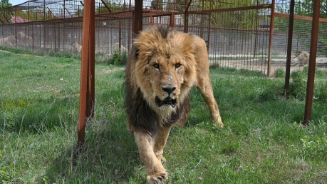 лев, сафари-парк, нападение, оккупированный крым, пьяная, зубков
