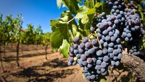 Гурзуф, виноградники, торги, продажа, экономика, власти Крыма