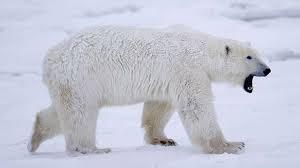 арктика, белые медведи, нападение на газовщика, общество, происшествия, россия