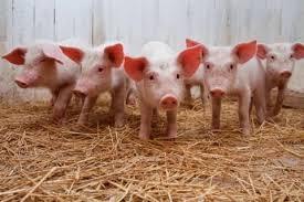 Украина, Сумская область, общество, карантин, чума свиней, медицина