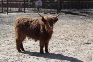киев, киевский зоопарк, шотландские высокогорные коровы, подарок