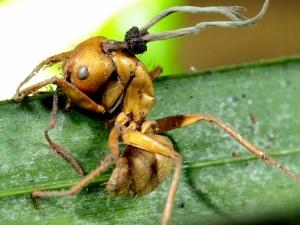 США, Университет Центральной Флориды, гриб-паразит, зомби, муравей,  растение